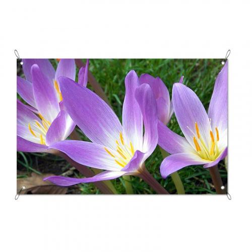 Poster da giardino Crochi viola